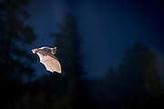 Bat (myotis sp) flying at night  in Central Oregon. © Michael Durham