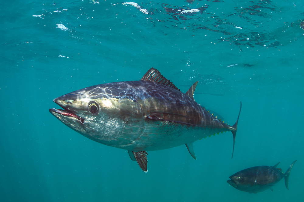 Captive Southern Bluefin Tuna (Thunnus maccoyii) held in a pen in Boston Bay in Port Lincoln, Australia. Port Lincoln is the major hub for Southern Bluefin Tuna fishing in Australia. The species is considered critically endangered.