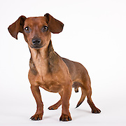 Dachshund dog photographed while waiting for adoption.  Pet photography by Michael Kloth.