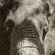 """""""Aged Eyes""""                                                       Zimbabwe<br />  This bull elephant emerged out of the Bush as I sat near the bank of the Zambezi river.  I was enjoying a lukewarm beer (nothing in Africa is cold) and had just enough time to put down my beer and grab my camera."""