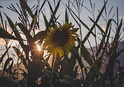 THEMENBILD - Sonnenblumen bei Sonnenuntergang in einem Maisfeld, aufgenommen am 12. August 2018, Kaprun, Österreich // Sunflowers at sunset in a corn field on 2018/08/12, Kaprun, Austria. EXPA Pictures © 2018, PhotoCredit: EXPA/ Stefanie Oberhauser