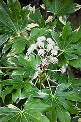 Fatsia japonica 'Variegata' AGM. Japanese aralia