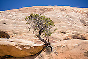 A dwarf tree (natural bonsai) thrives in a sandstone crack in Lost Canyon, in Needles District of Canyonlands National Park, Utah, USA.