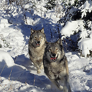 Gray Wolves running in the snowy foothills of the Rocky Mountains in Montana. Captive Animal