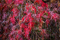 Acer palmatum 'Inaba-shidare' AGM -  Dissectum group - Japanese maple