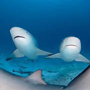 Bull sharks (Carcharhinus leucas) underwater in Mexico.
