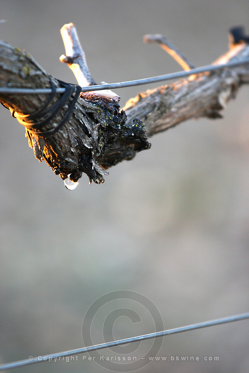 a vine weeping, dripping sap at pruning cut Bodegas Concejo (previously called Pilcar), DO Cigales , Valoria la Buena spain castile and leon