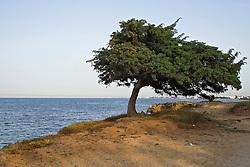 Albero cresciuto sulla costa erosa dal mare e piegato dal costante vento che soffia verso terra