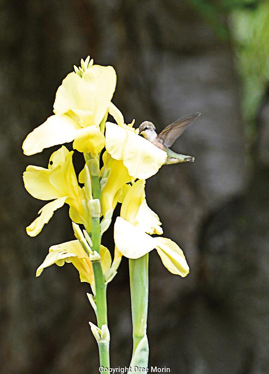 Humming bird gathering nectar.