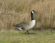 Canada Goose Branta canadensis L 95-105cm. Large, familiar goose with long neck and upright stance. All birds have blackish bill and dark legs. In flight, wings appear uniformly grey-brown while stern is white. Sexes are similar. Adult has white cheeks on otherwise black head and neck. Body is mainly grey-brown, darkest on back (pale feather margins creating barring) and palest on breast. Stern is white and tail is dark. Juvenile is similar but barring on back is less distinct. Voice Utters loud, disyllabic trumpeting calls in flight. Status Introduced but now our most widespread goose; commonest in lowland England, usually in vicinity of freshwater, often on nearby grassland.
