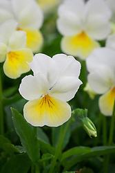 Viola 'Mrs Bouquet'