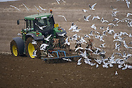 Gulls following ploughing tractor