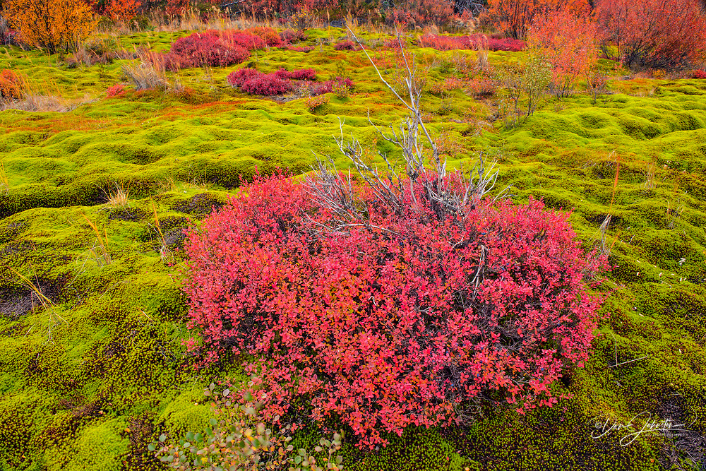 Autumn blueberry in a bed of moss, Arctic Haven Lodge, Ennadai Lake, Nunavut, Canada