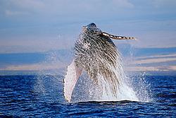 Humpback Whale breaching, Megaptera novaeangliae, Hawaii, Pacific Ocean.