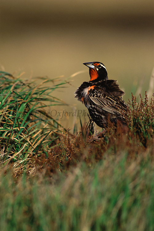 Long-tailed Meadowlark<br />Sturnella loyca<br />Stanley Island, FALKLAND ISLANDS<br />RANGE: S. Chile & Argentina to Tierra del Fuego & Falklands