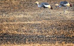 24-10-2008 REPORTAGE: KILIMANJARO CHALLENGE 2008: TANZANIA <br /> De dag van De Ngorongoro-krater, de grootste intakte caldera (ingestorte vulkaankegel) ter wereld. Hij bevindt zich ten noordwesten van Arusha in Tanzania / Wild, dieren, Natuur, vogels, Kraanvogel<br /> ©2008-FotoHoogendoorn.nl