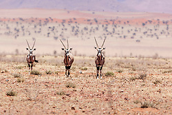 Oryx at NamibRand Nature Reserve, Namibia, Africa