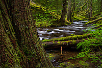 Just above Panther Creek Falls, the river calmly flows through the lush green forest on the Washington side of the Columbia River Gorge.
