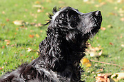 Henry our 6 month-old cocker spaniel puppy enjoying a walk in the park on a sunny autumnal day.