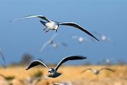 Israel, Coastal Plains, Black-headed Gull (Larus ridibundus) hovering over the fish ponds in search for fish