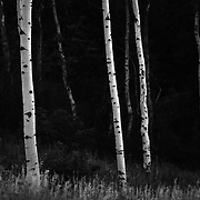 Black and White Aspen tree forest.
