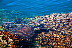 A green turtle swims in the shallows on Turtle Reef in Talbot Bay.