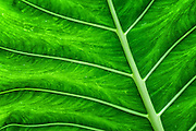 Green Araceae Leaf from Hawaii