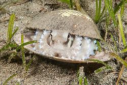 Coconut Octopus, Amphioctopus marginatus, hiding in a clam shell. Anilao, Philippines, Pacific Ocean