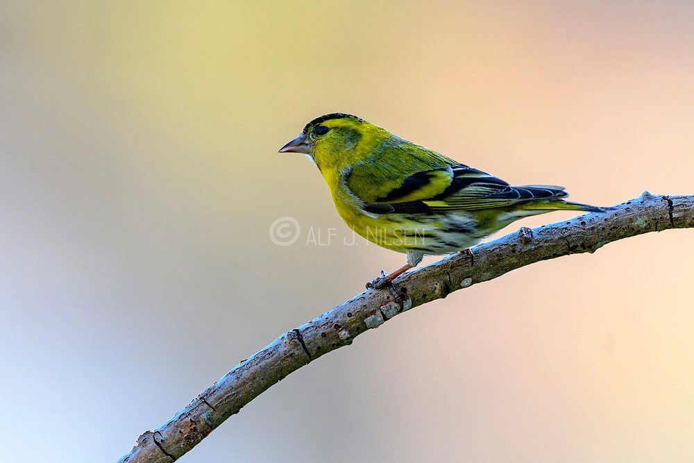 Eurasian siskin (Spinus spinus, male) from Hidra, south-western Norway in May.