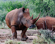 White rhinoceros with very long and sharp horn, female with calf, [Secret Location] Ears are marked for identification, © David A. Ponton