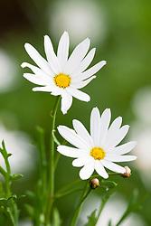 Argyranthemum frutescens. Marguerite Daisy