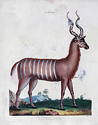 Capra the striped antelope Copper engraving with hand colouring from Encyclopaedia Londinensis, or, Universal dictionary of arts, sciences, and literature [miscellaneous plates] by Wilkes, John Publication date 1796-1829