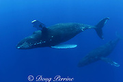 humpback whales, Megaptera novaeangliae, female in front, male escort behind, Kona, Hawaii; caption must include notice photo taken under NMFS research permit #587