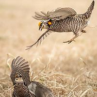 Tympanuchus cupido, Pawnee County, Nebraska, April 2019, breeding season on the lek - males fighting.