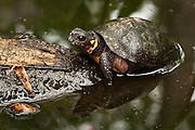 Bog Turtle (Glyptemys muhlenbergii) CAPTIVE<br /> USA. ENDEMIC to Eastern United States.<br /> HABITAT & RANGE: Calcareous wetlands, meadows, bogs, marshes often on edge of woods.  Eastern USA<br /> IUCN STATUS: ENDANGERED SPECIES