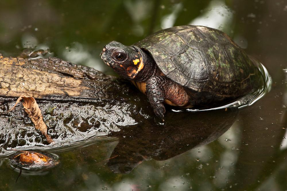 Bog Turtle (Glyptemys muhlenbergii) CAPTIVE<br /> USA. ENDEMIC to Eastern United States.<br /> HABITAT & RANGE: Calcareous wetlands, meadows, bogs, marshes often on edge of woods.  Eastern USA<br /> IUCN STATUS: ENDANGERED SPECIES