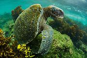 Green Turtle (Chelonia mydas agassisi)<br /> Punta Moreno, Isabela Island<br /> Galapagos<br /> Ecuador, South America