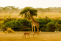Impala ewes and a giraffe, Serengeti National Park, Tanzania