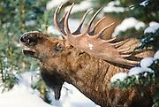 Alaska, Denali National Park. Bull moose in snow.