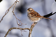 The white-throated sparrow flew up from feeding along the ground when it saw me coming.  It sat for a few minutes before flying off to other parts.