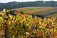 Red Hill region vineyard in Autumn.<br /> <br /> For larger JPEGs and TIFF Contact EFFECTIVE WORKING IMAGE via our contact page at : www.photography4business.com