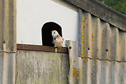 Barn owl. Arne, Dorset, UK. The parents use this box to escape the attentions of the chicks.