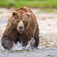 An adult brown bear moves through the summer waters in Katmai National Park and Preserve