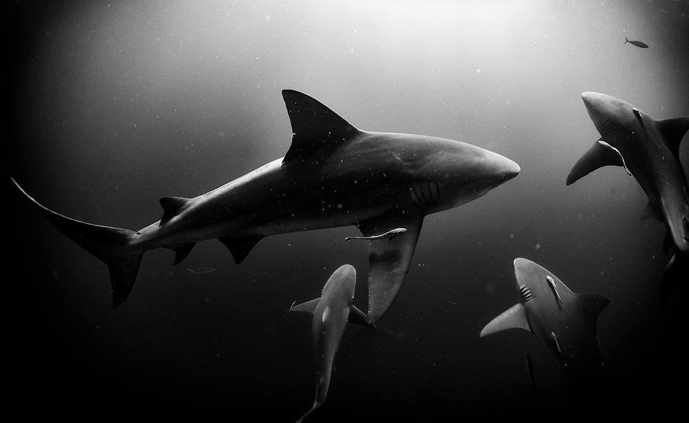 Bull sharks and remoras near Jupiter, Florida