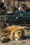 Lion (Panthera leo) & Tourists<br /> Moremi Game Reserve, Okavango Delta<br /> BOTSWANA<br /> RANGE: Sub-Saharan Africa