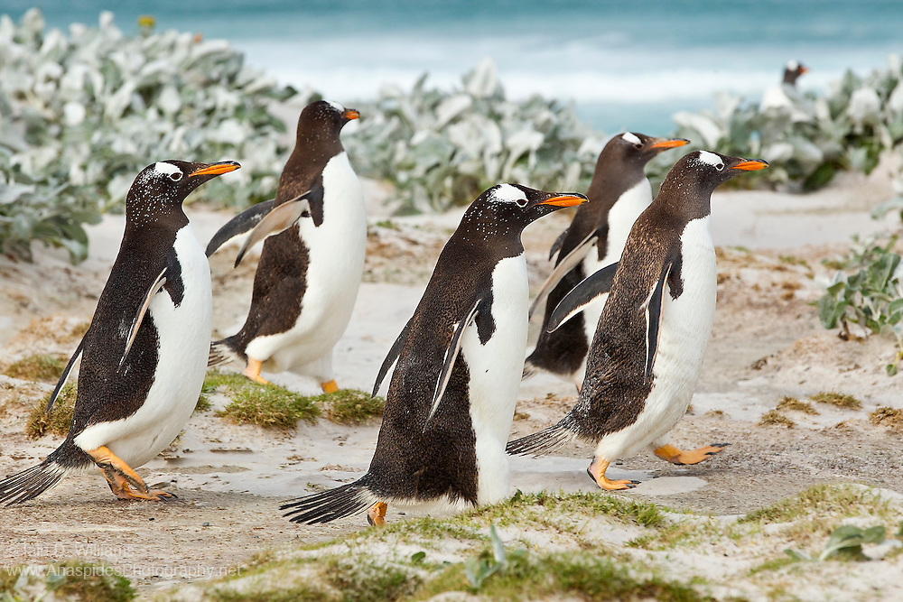 Gentoo penguins often move in small groups between the sea and their colony