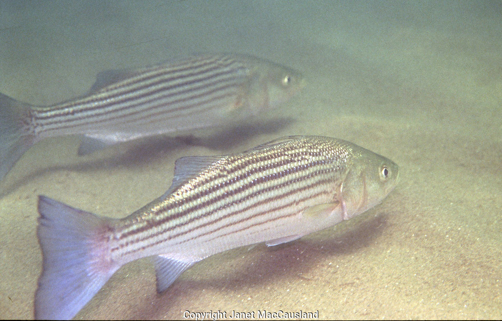 """Striped Bass will follow River Herring up tributaries after the smaller fish they feed on. They also eat seaworms, crabs and other marine life. I have observed them """"shadowing"""" skates in open beach areas, hoping for scraps, or even the main menu, which the skate might catch. Stripped Bass (Morone saxatilis) often migrate through the the Cape Cod Canal. They are inshore fish, frequenting surf, bars, reefs, bays, and  estuaries of Cape Cod Bay and beyond. A prized game fish, they grow up to 70 pounds or more."""