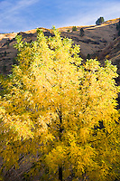 Black Walnut tree (Juglans nigra) in autumn along the Grande Ronde River