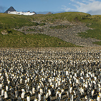 Uncounted thousands of King Penguins crowd a rookery at Salisbury Plain, South Georgia, Antarctica.