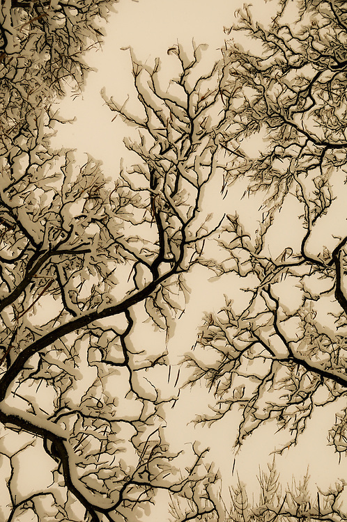 bare tree branches with snow, sepia toned, City Park, Palisade, Colorado